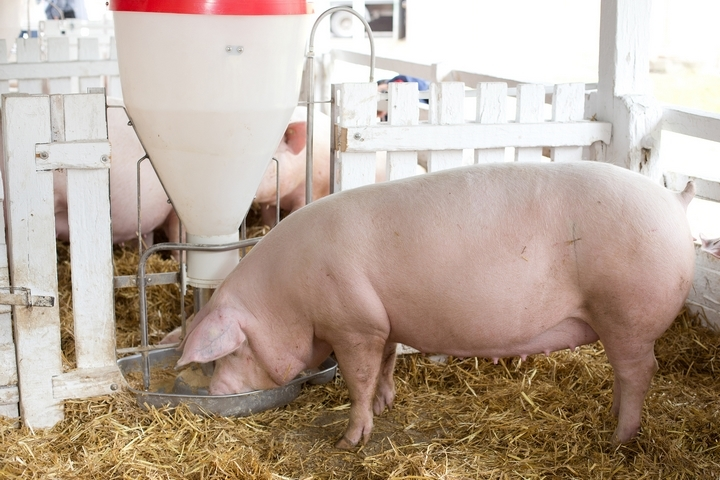 5 Things You Need to Know About Raising a Pig