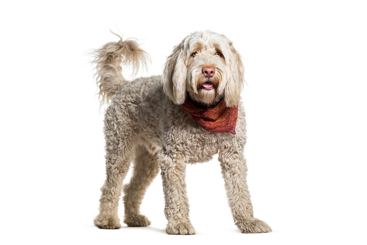 7 Guidelines for Owning a Portuguese Water Dog